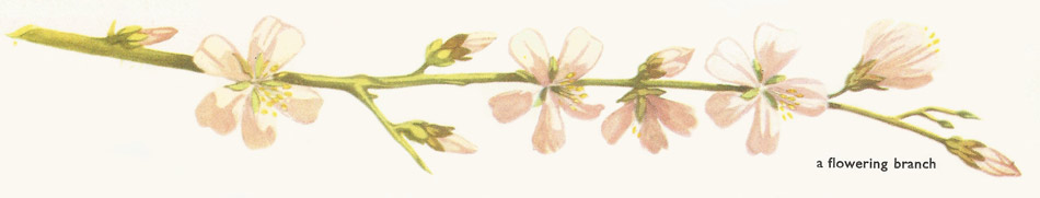 almond flowering branch