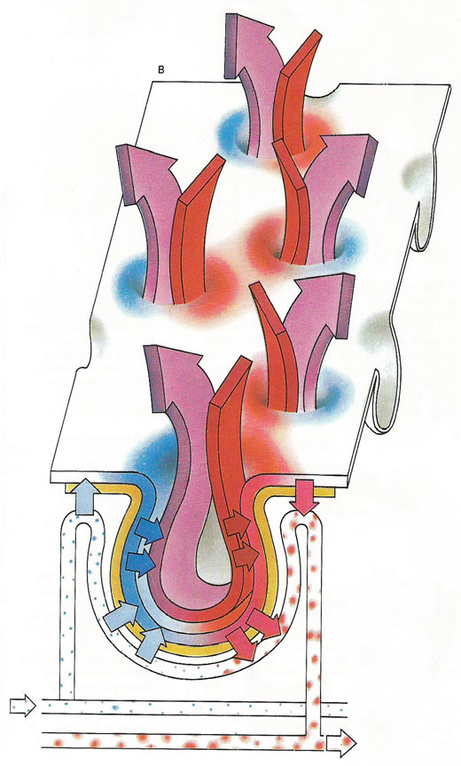 diagrammatic representation of the alveolar surface