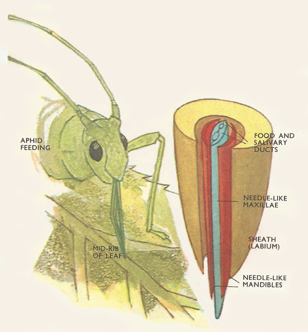 The mouth parts of aphids are adapted for piercing plant surfaces and sucking sap. The two maxillae come together as shown to form canals – one for injecting saliva, one for absorbing food.