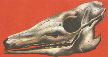 Skull of an armadillo