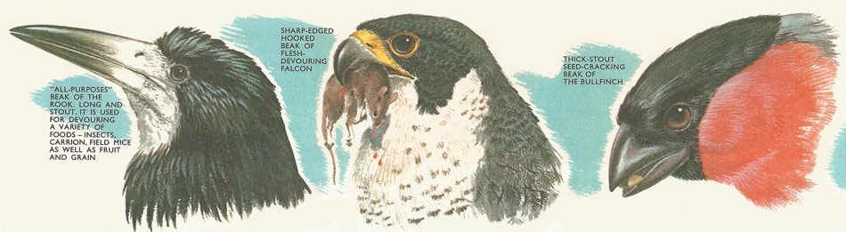 The beaks of birds are adapted to their purpose. The beaks of the rook, falcon, and bullfinch.