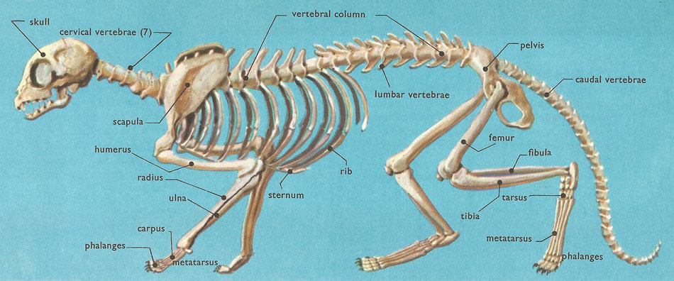 Domestic Cat Anatomy