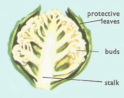 Section of a cauliflower