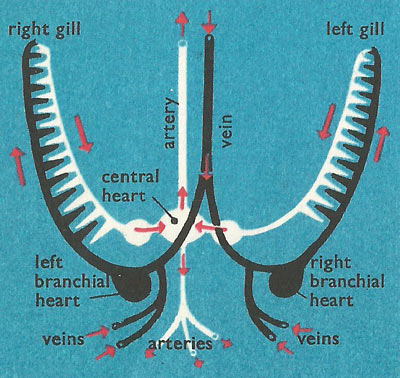 cephalopod circulation