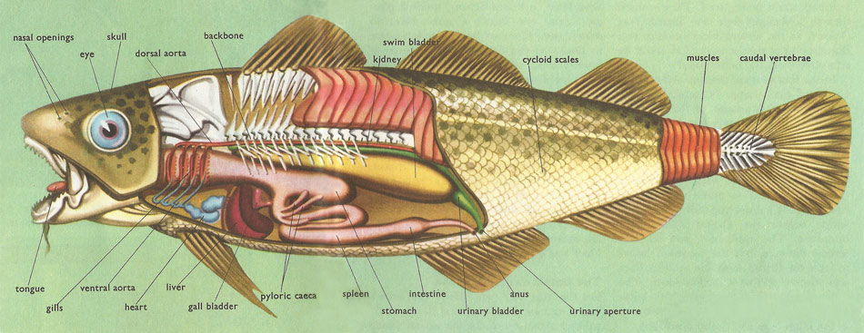 anatomy of the cod