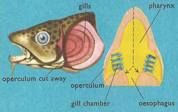 cod's gills and respiration