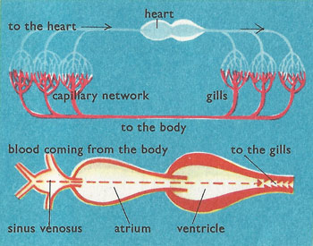 cod heart and circulation