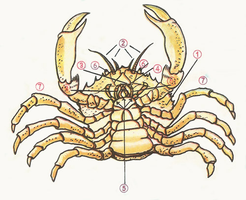 labeled diagram of the common crab