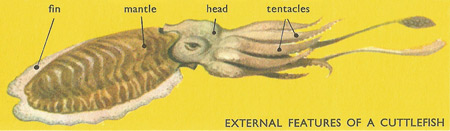 cuttlefish, external features