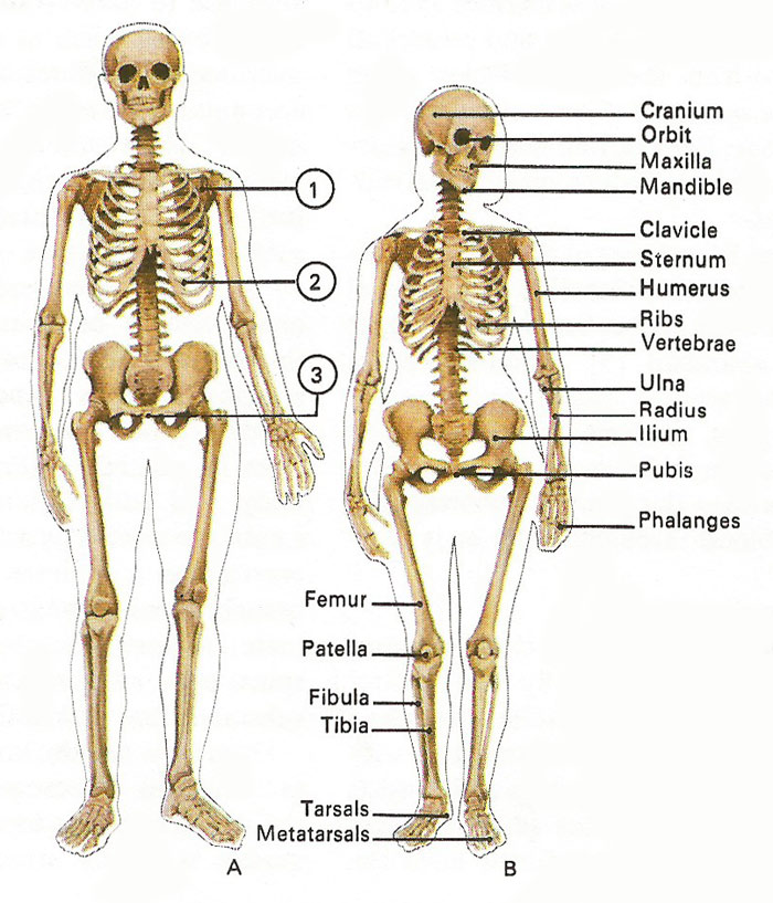 differences between male and female skeletons, Skeleton