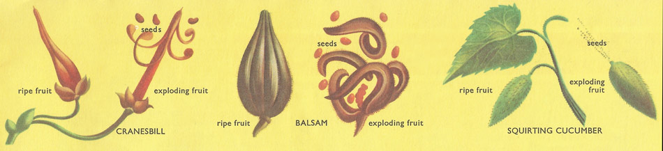 a variety of explosive fruits