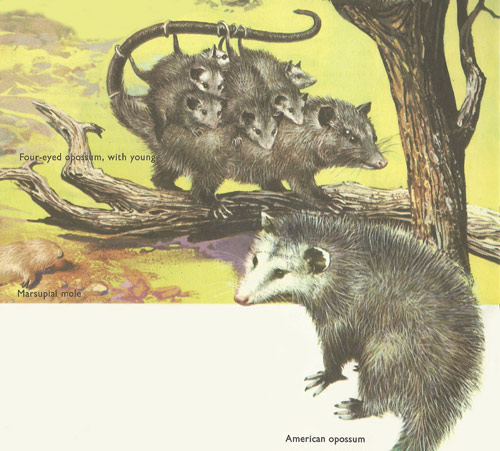 Red-eyed opossum and American opossum