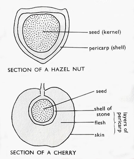 comparison of a fruit and nut
