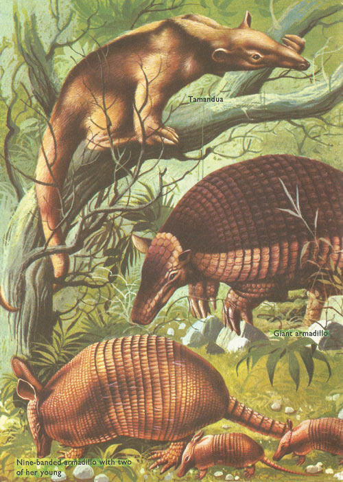 Tamandua, giant armadillo, and nin-banded armadillo
