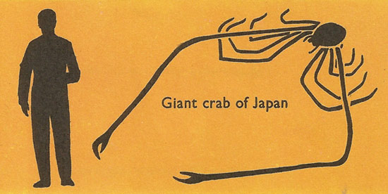 size comparison of giant crab of Japan and man