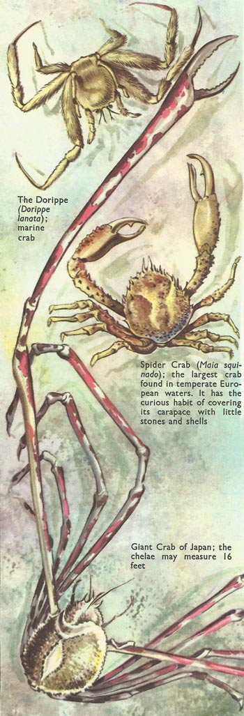 Giant, spider, and Dorippe crabs