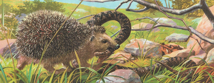 Hedgehogs have no fear of venemous snakes