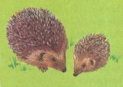 At three weeks the spines harden and the little hedgehogs start to venture out of the nest.