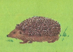 Hedgehogs are mature at two to three months and must now look after themselves
