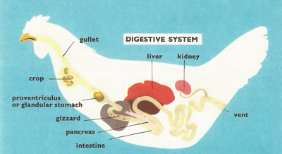 A hen's digestive system