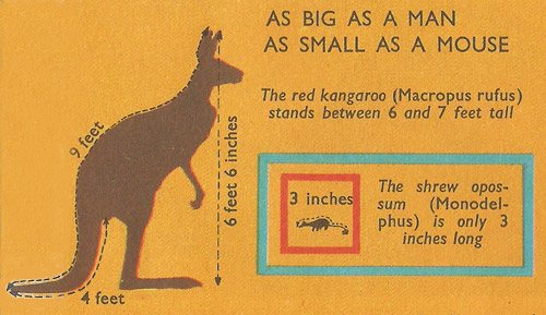 Comparison of size between red kangaroo and a shrew opossum