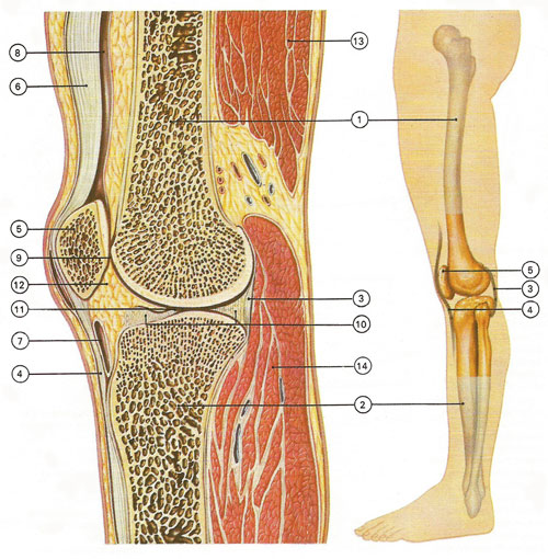 structure of the knee