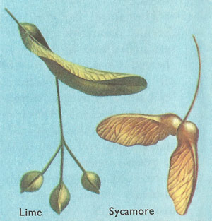 lime and sycamore seeds, dispersed by the wind