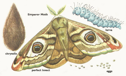 Metamorphosis of a moth