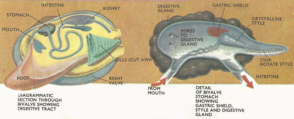 ../../images3/mollusk_digestive_tract.jpg
