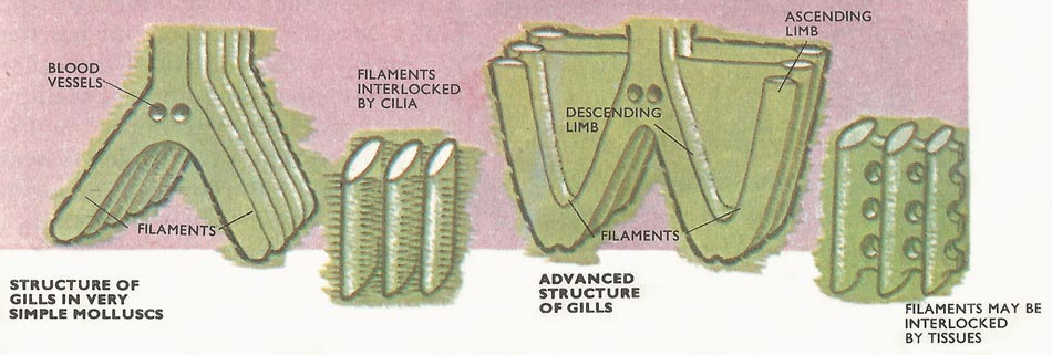 Mollusk gill structure.