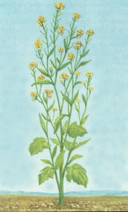 the mustard plant