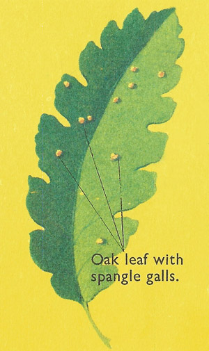 oak spangle galls