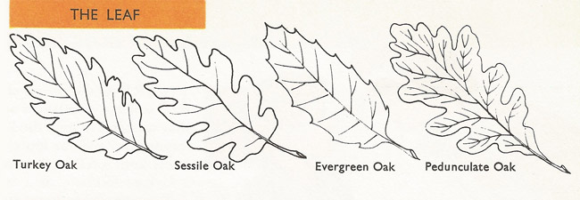 types of oak leaf