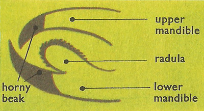 diagram of the mouth of an octopus