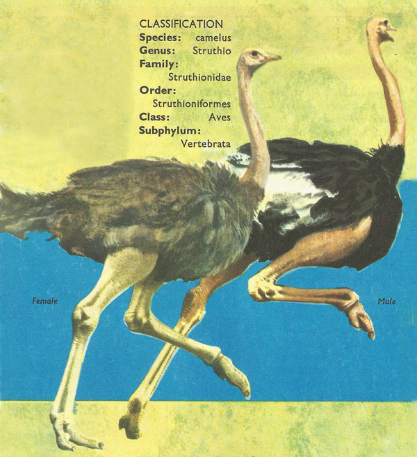 ostrich classification