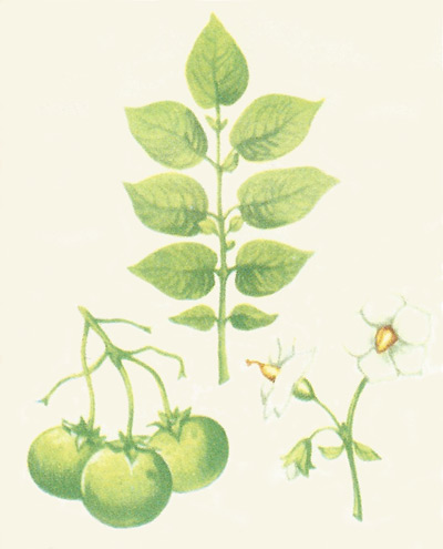 Fruit, leaves, and flowers of the potato