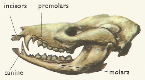 Skull of a primitive mammal