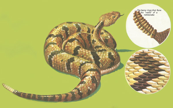 images of a rattlesnake.html
