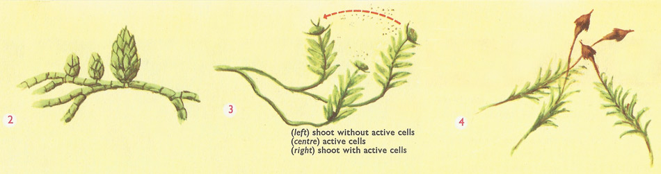reproduction in mosses