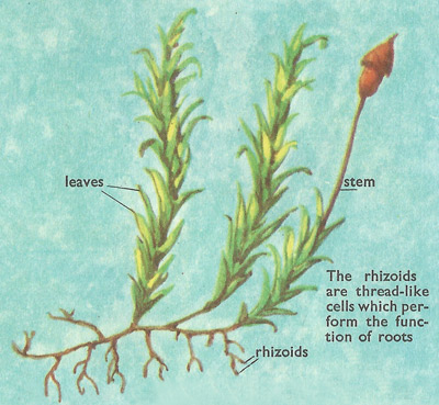 rhizoids of mosses