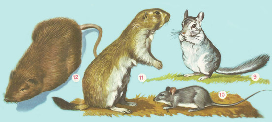 chinchilla, rats and mice, prairie dog, coypu