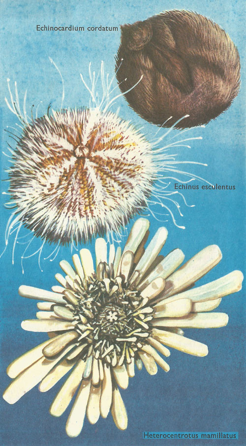 types of sea urchin
