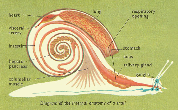 Inside Snail Diagram Auto Electrical Wiring Diagram