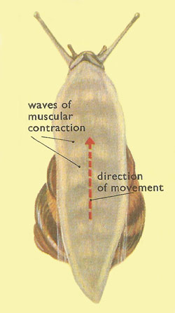Muscular contraction in a snail