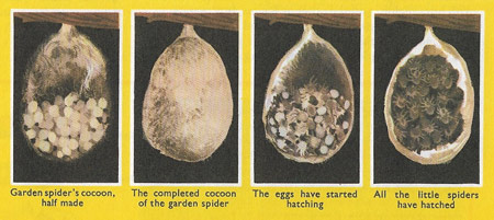 Garden spider's cocoon and eggs