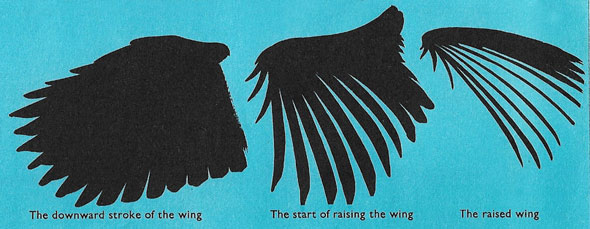 Stages in the wing-beat of a bird