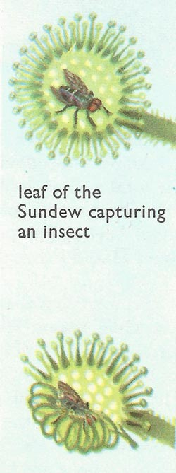 Sundew leaf capturing an insect