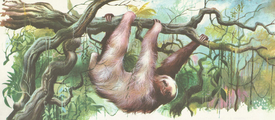 A three-toed sloth in its natural habitat in the South American forest