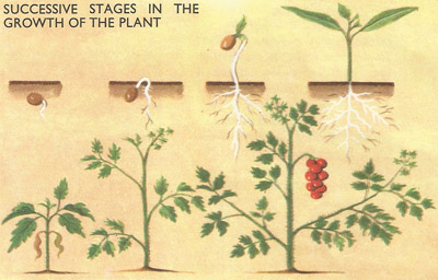 successive stages in the growth of the tomato plant