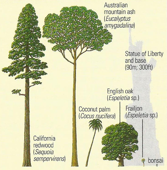 comparative sizes of some trees